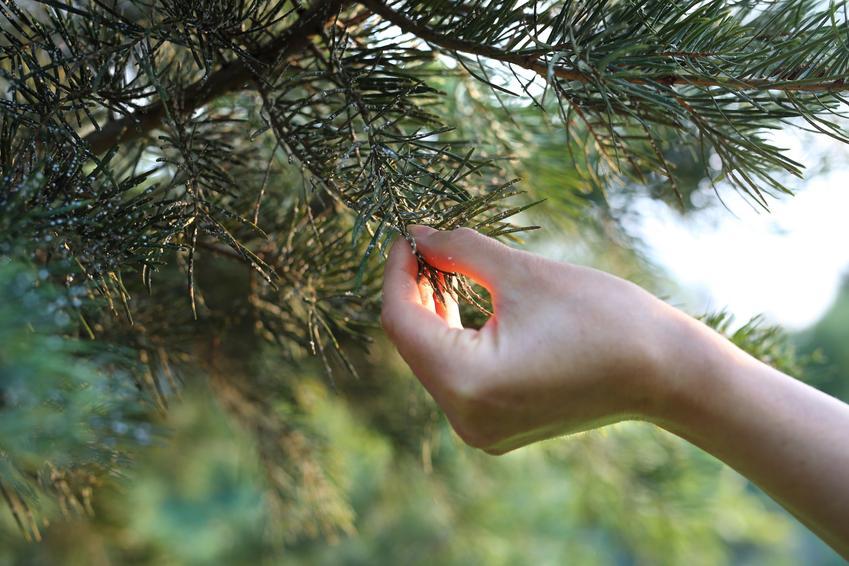 Dłoń dotykająca igieł drzewa, a także choroby iglaków, choroby sosny, choroby jałowca, choroby grzybowe roślin iglastych
