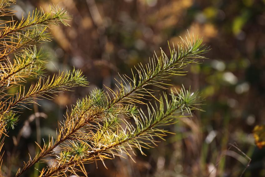 Brązowe igły drzewa, a także choroby iglaków, choroby sosny, choroby jałowca, choroby grzybowe roślin iglastych