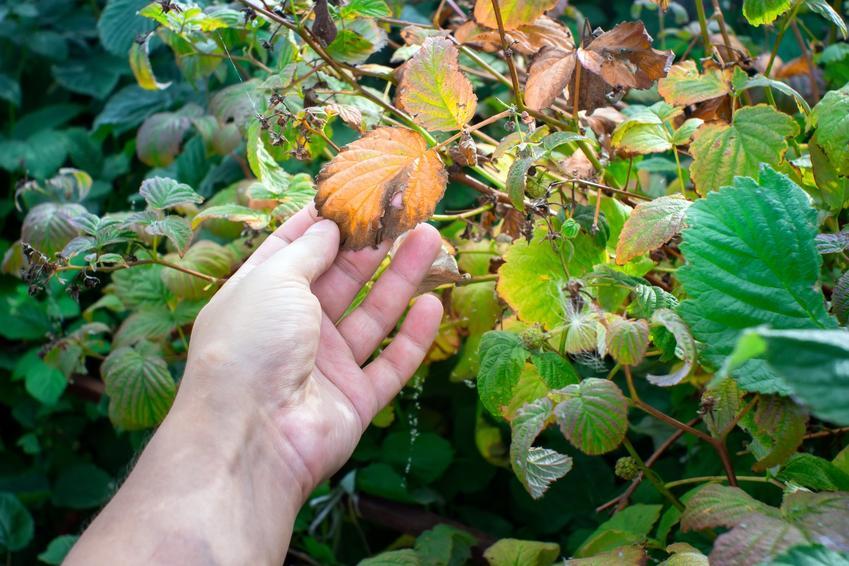 Porażone liście malin, a także szkodniki malin, choroby malin, zwalczanie, robaki w malinach