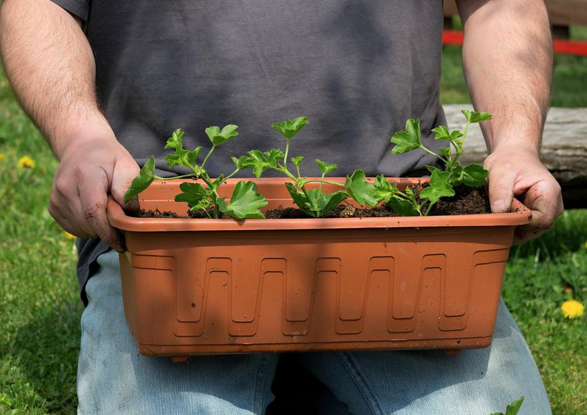 Sadzonki pelargonii w doniczce, a także nasiona pelargonii zwisającej i nasiona pelargonii angielskiej i porady