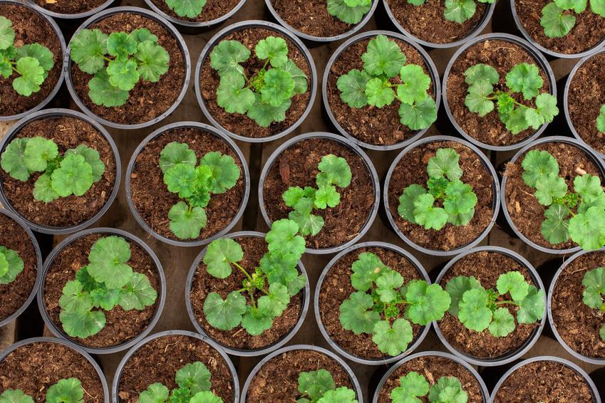 Sadzonki pelargonii w doniczkach, a także jak wybrać nasiona pelargonii zwisającej i nasiona pelargonii angielskiej oraz innych