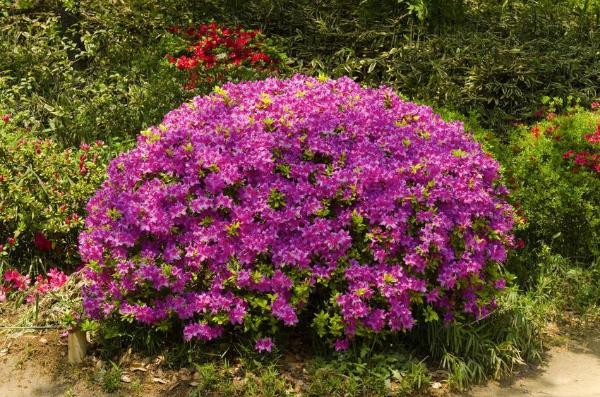 Kwiat azalia ogrodowa, rododendron, różanecznik w czasie kwitnienia, a także uprawa i pielęgnacja