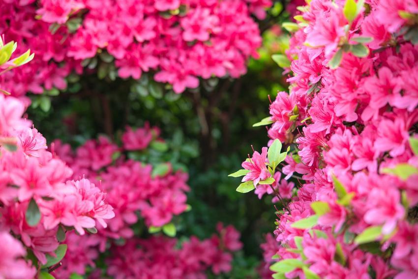 Krzew azalia ogrodowa, czyli różanecznik w czasie kwitnienia, jego uprawa i pielęgnacja