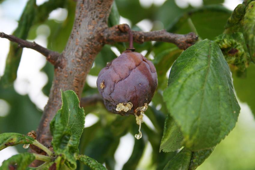 Porażone chorobą owoce śliwy, a także brunatna zgnilizna drzew pestkowych i inne choroby