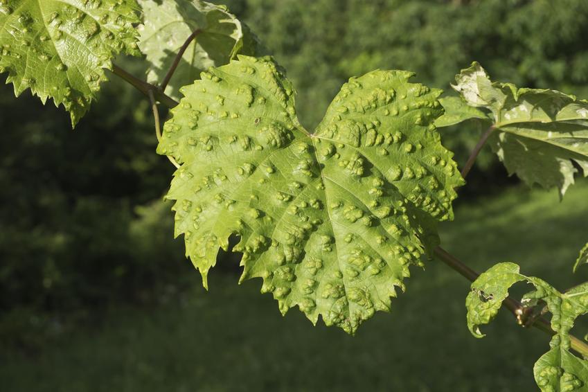 Porażone liście winorośli, a także choroby winogron, choroby winorośli, rozpoznanie i zwalczanie