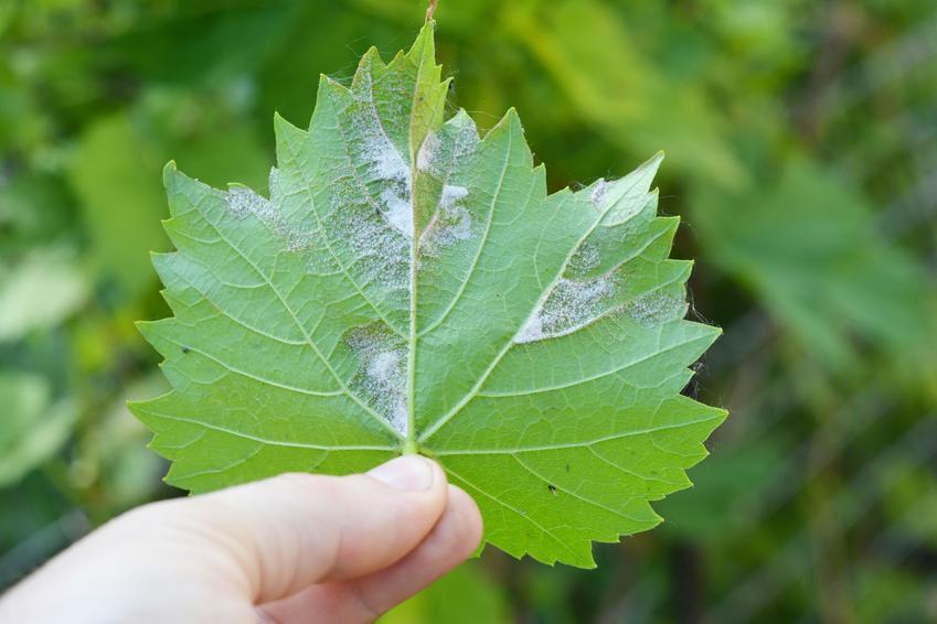 Plamy na liściach winogrona, a także choroby winogron, choroby winorośli i zwalczanie