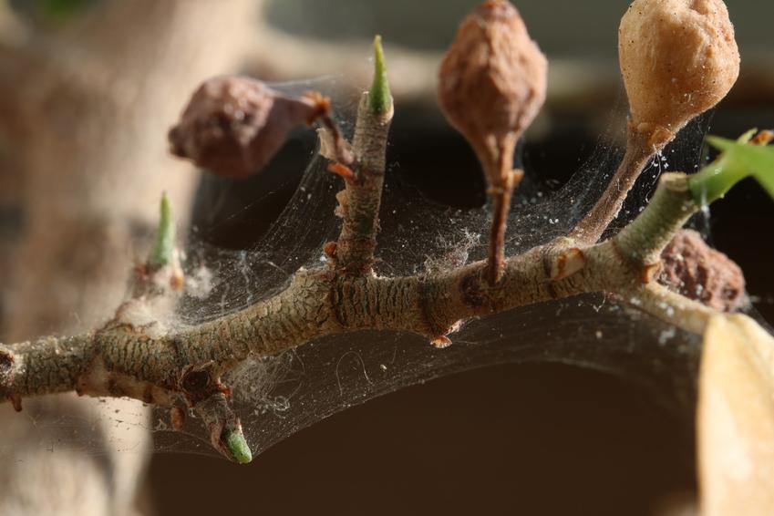 Przędziorek chmielowiec atakujący roślinę oraz zwalczanie przędziorka chmielowca