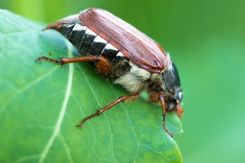 Szkodnik chrząszcz majowy na zielonym liściu, a także zwalczanie chrząszcza majowego