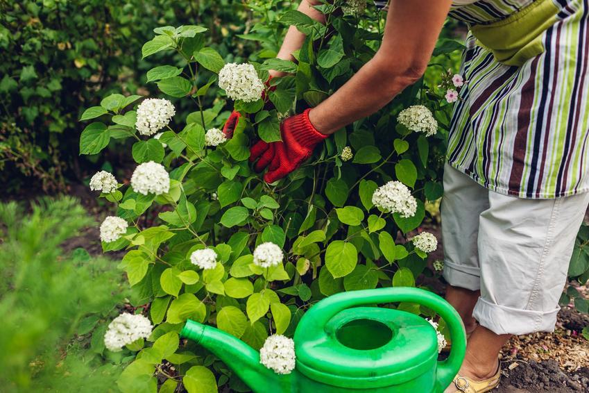 Kobieta przy krzewie hortensji w ogrodzie, a także uprawa i pielęgnacja hortensji