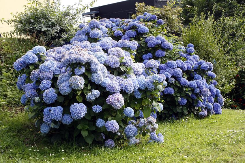 Niebieska hortensja w czasie kwitnienia w ogrodzie, a także wymagania i ziemia do hortensji