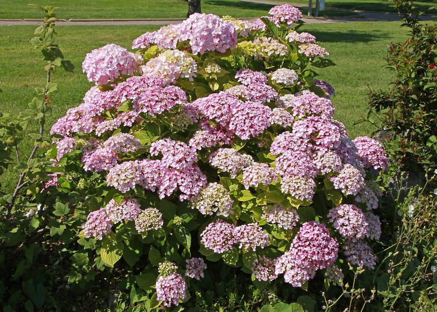 Różowa hortensja w czasie kwitnienia w ogrodzie, a także wymagania i ziemia do hortensji