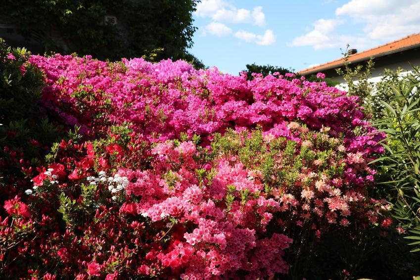 Kwitnący w ogrodzie różanecznik japoński, a także rododendron japoński i jego uprawa