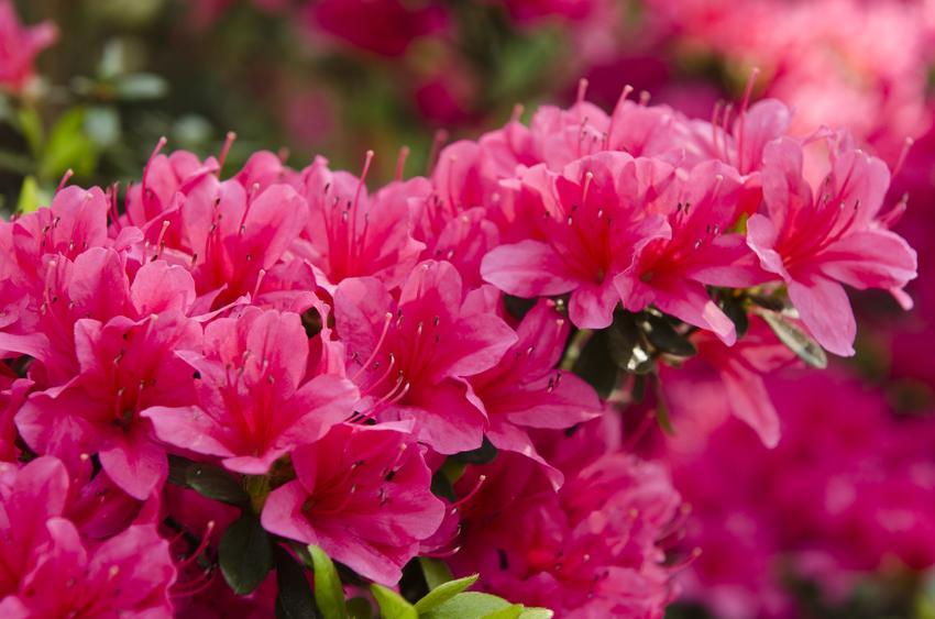 Krzew różanecznik japoński w czasie kwitnienia, a także rododendron japoński i jego wymagania