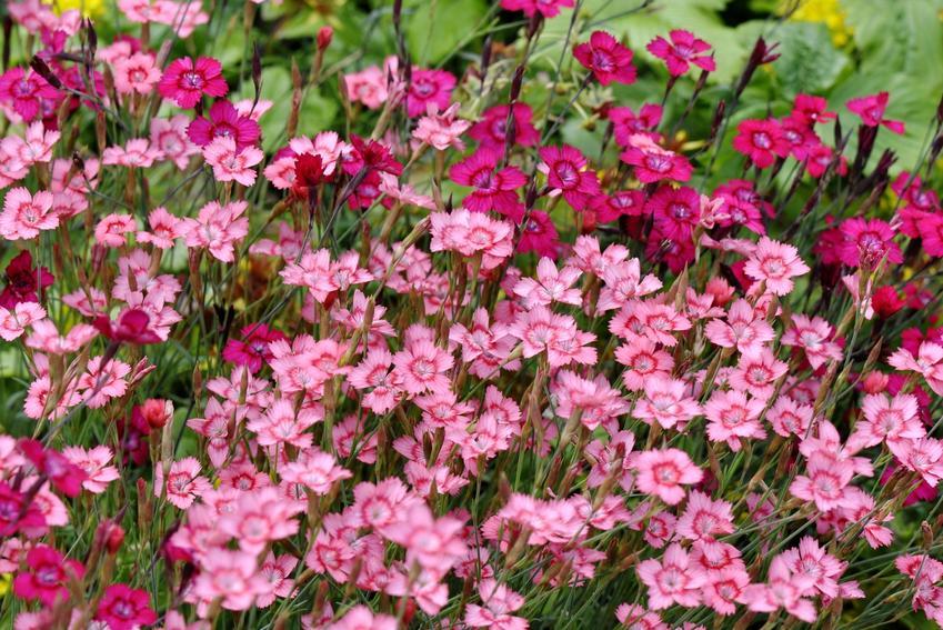Kwiat goździk kropkowany, Dianthus deltoides w czasie kwitnienia w ogrodzie, a także jego uprawa