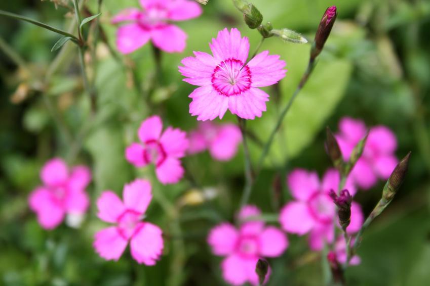 Goździk kropkowany, Dianthus deltoides i zbliżenie na jego kwiaty, a także uprawa i sadzenie