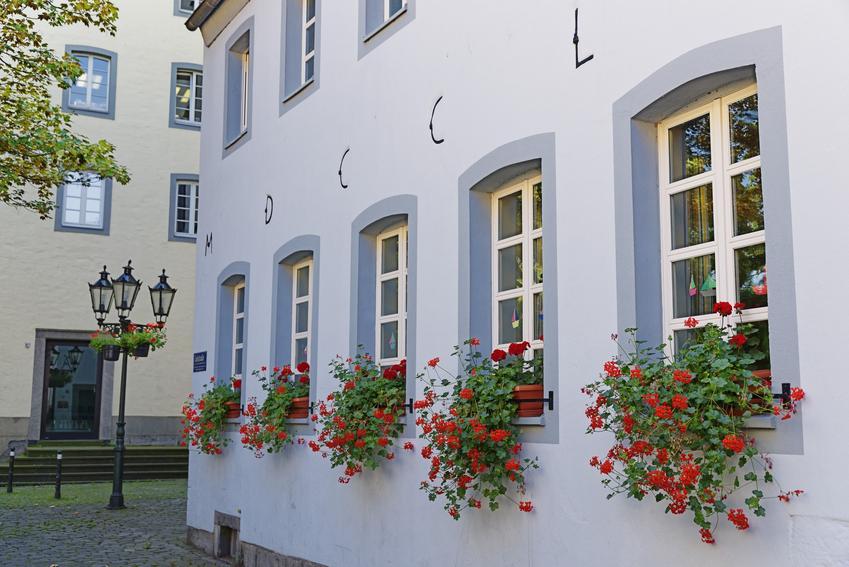 Pelargonie zwisające w oknach, a także pelargonie wiszące, ich wymagania, uprawa i pielęgnacja