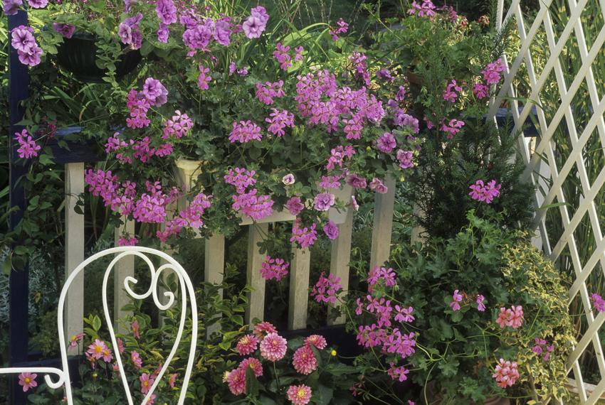 Różowe pelargonie zwisające w ogrodzie oraz pelargonie wiszące i ich uprawa