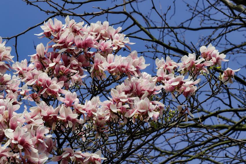Krzew magnolia siebolda, magnolia sieboldii w czasie kwitnienia, a także jej uprawa i pielęgnacja