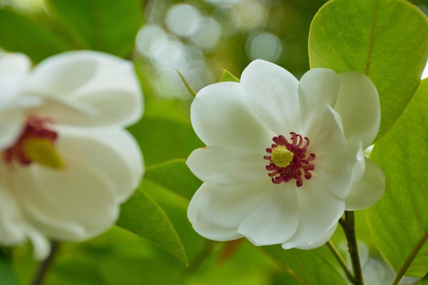 Magnolia siebolda, magnolia sieboldii i zbliżenie na kwiat, a także sadzenie, uprawa pielęgnacja