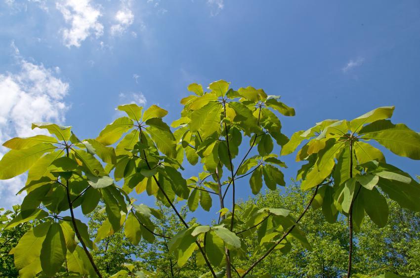 Krzew magnolia parasolowata w czasie kwitnienia, a także jej uprawa i pielęgnacja