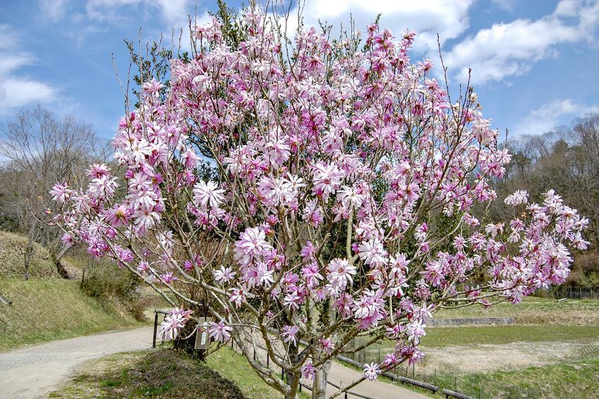 Krzew magnolia japońska, magnolia kobus w czasie kwitnienia, a także jej uprawa i pielęgnacja