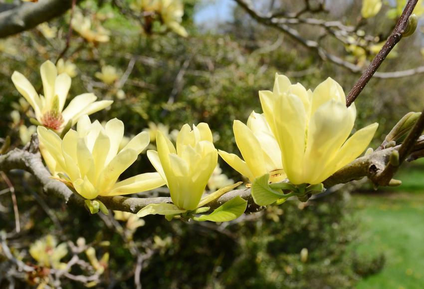 Krzew magnolia żółta w czasie kwitnienia, a także jej uprawa i pielęgnacja oraz odmiany