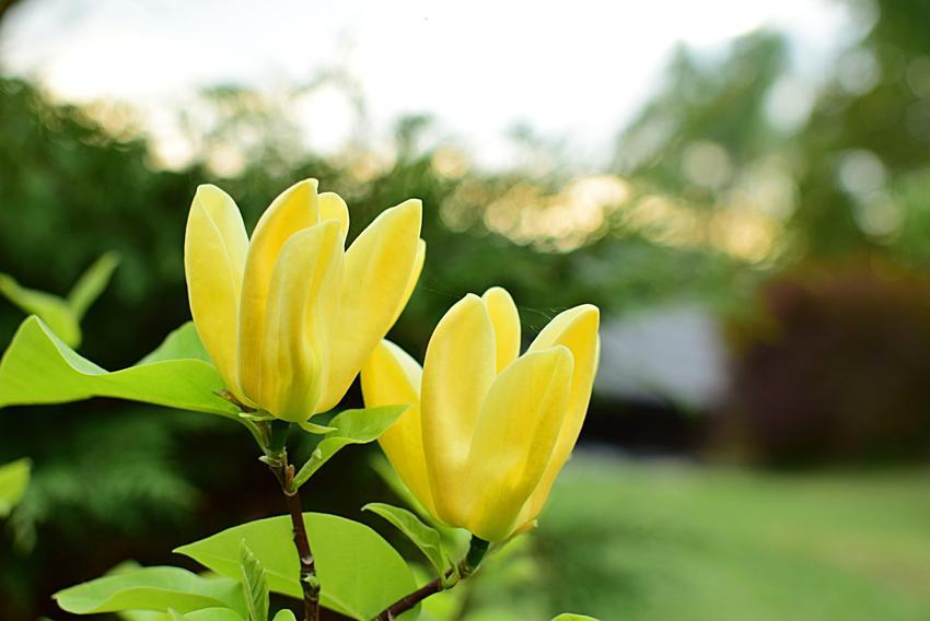 Magnolia żółta i zbliżenie na kwiat, a także sadzenie, uprawa, pielęgnacja i odmiany