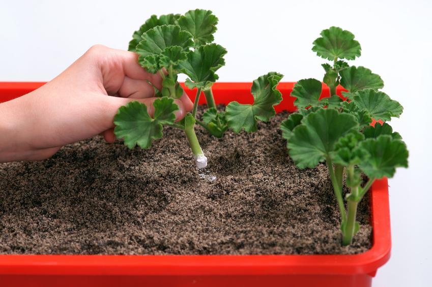 Rozmnażanie pelargonii przez sadzonki, a także porady, jak rozmnożyć pelargonie