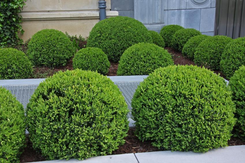 Kule z bukszpanu w ogrodzie, a także porady jak uprawiać bukszpan