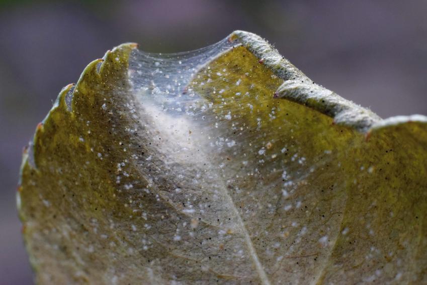 Liść porażony przez przędziorki, a także polecany oprysk na przędziorki i środki na przędziorka