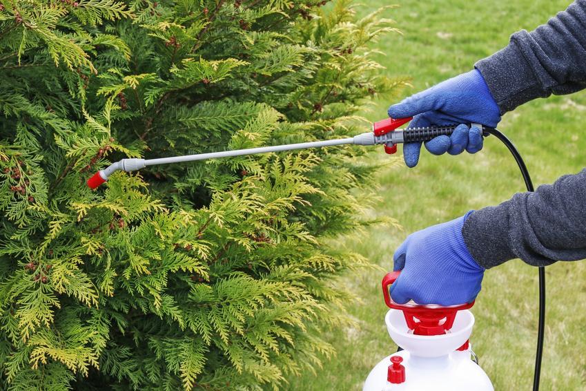 Opryskiwanie krzewu w ogrodzie, a także preparat i oprysk na przędziorki