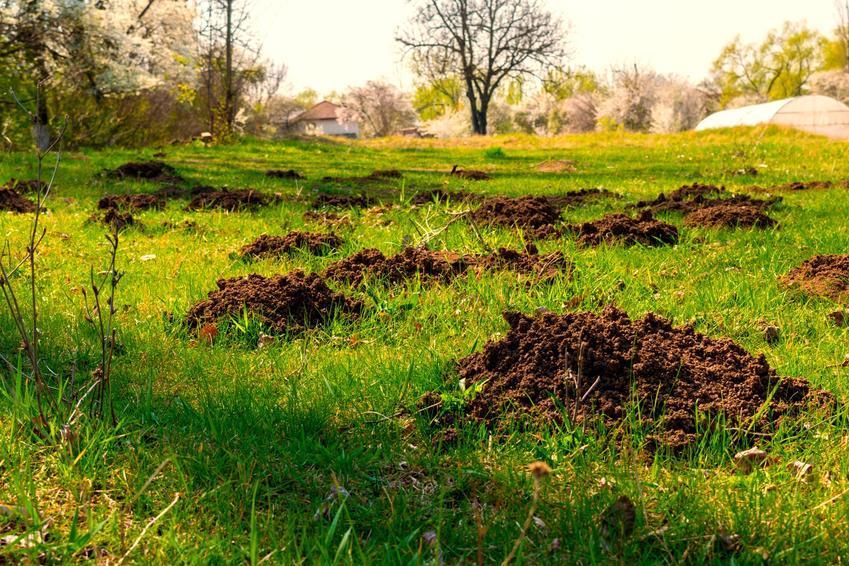 Kopce kreta w ogrodzie na trawie, a także trutka na krety i środki na krety