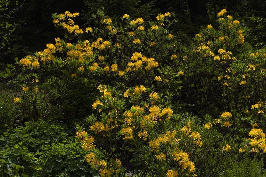 Krzew Krzew azalia pontyjska, Rhododendron luteum w czasie kwitnienia, a także stanowisko i uprawa