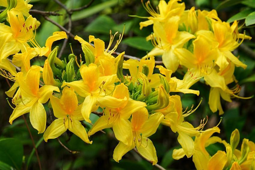 Krzew azalia pontyjska, Rhododendron luteum i zbliżenie na kwiaty, a także uprawa i pielęgnacja
