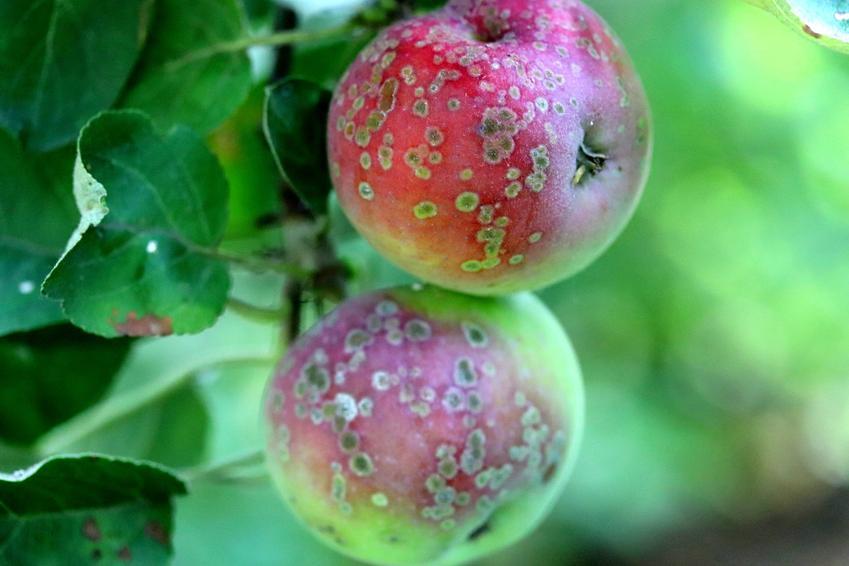 Jabłka z plamami porażone przez parcha oraz parch jabłoni, zwalczanie parchu jabłoni