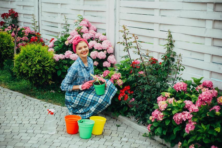 Kobieta podczas sadzenia hortensji w ogrodzie oraz rozmnażanie hortensji ogrodowej, jak rozmnożać hortensję