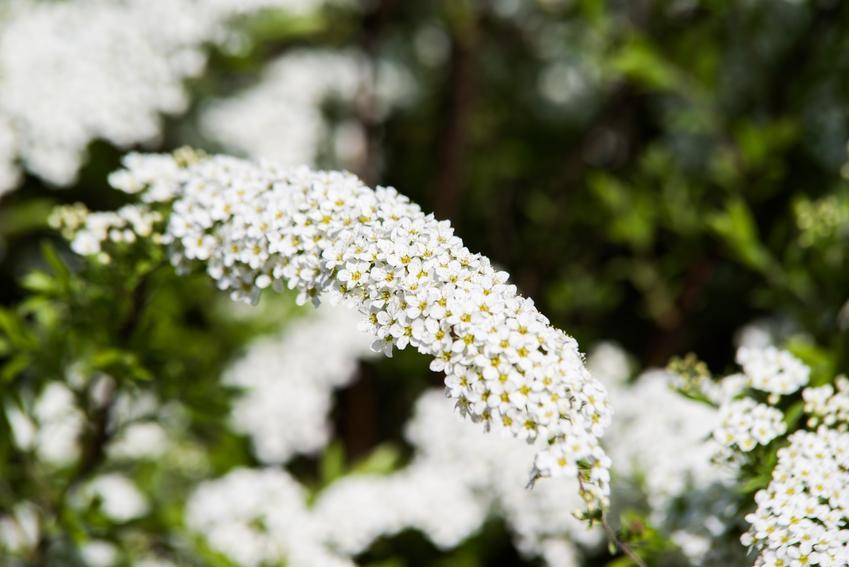 Tawuła szara, Spirea cinerea i zbliżenie na jej kwiaty w ogrodzie, a także uprawa i pielęgnacja