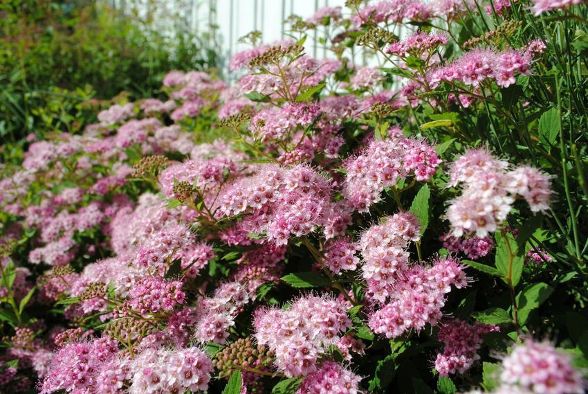 Krzew tawuła spiraea japońska w czasie kwitnienia, a także jej sadzenie, uprawa i rozmnażanie