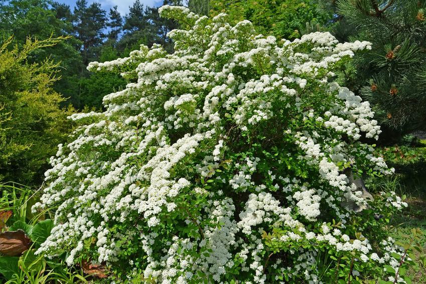 Krzew tawuła spiraea szara i zbliżenie na jej kwiaty w ogrodzie, a także uprawa i pielęgnacja