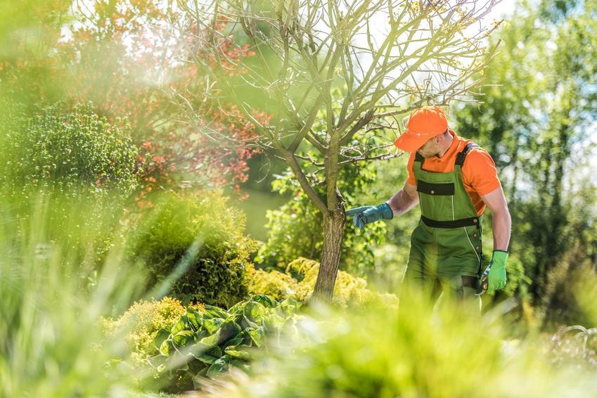Mężczyzna ogrodnik przy drzewie w ogrodzie, a także przesadzanie drzew i jak przesadzić drzewo