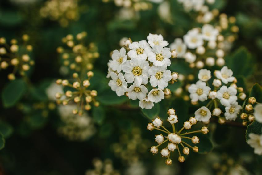 Tawuła brzozolistna Spirea betulifolia i zbliżenie na kwiat, a także tawuła i uprawa oraz pielęgnacja