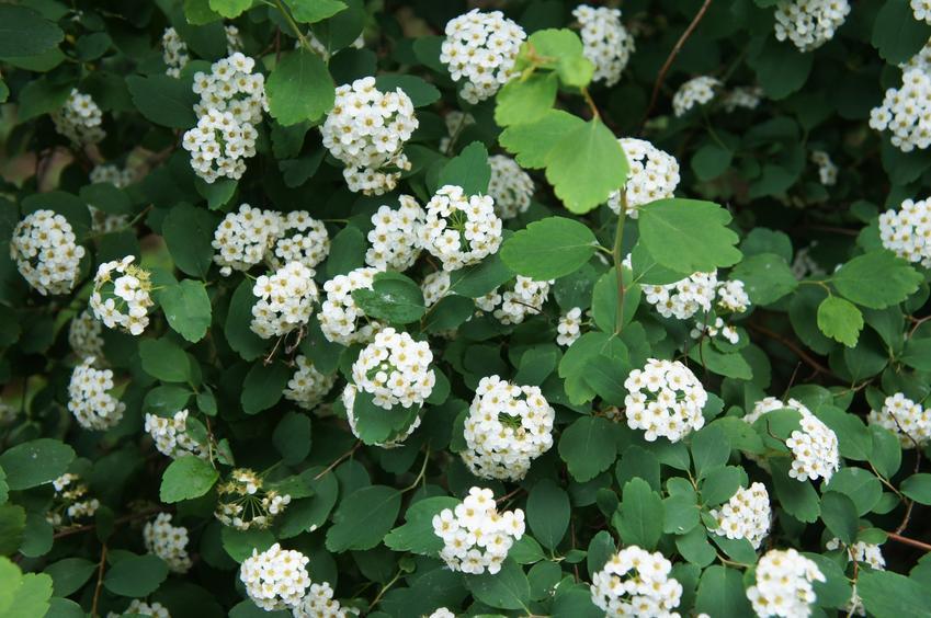 Krzew tawuła brzozolistna Spirea betulifolia w czasie kwitnienia, a także jej sadzenie, uprawa i rozmnażanie