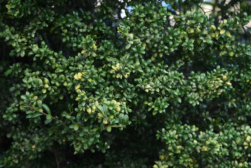 Krzew bukszpan drobnolistny, buxus microphylla, a także jego uprawa i pielęgnacja