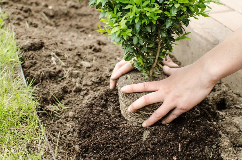 Sadzenie bukszpanu w ogrodzie, a także nawóz do bukszpanu, nawożenie, czym zasilać bukszpan