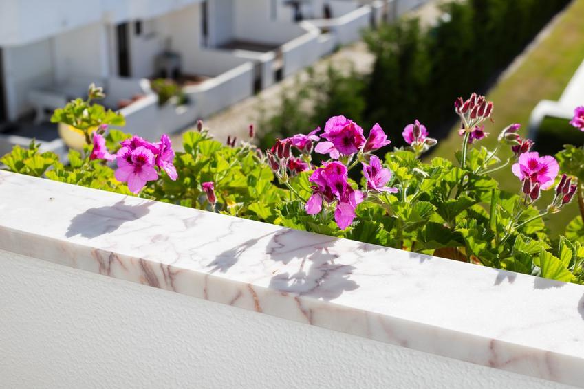 Kwiat pelargonia angielska na balkonie, a także sadzenie, sadzonki i cena