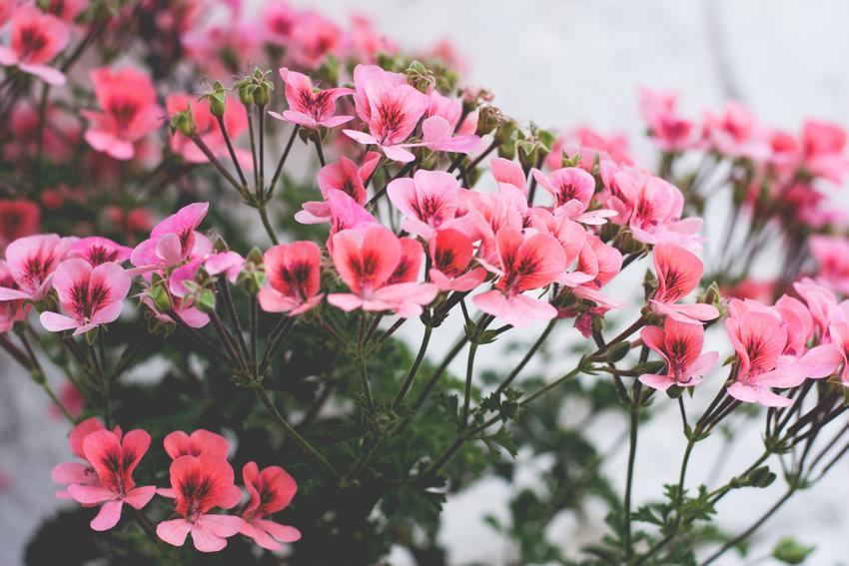 Kwiat pelargonia angielska w czasie kwitnienia oraz jej wymagania i uprawa w ogrodzie