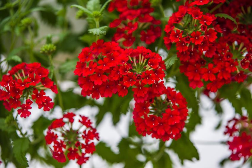 Kwiat pelargonia bluszczolistna czerwona zwisająca, a także sadzenie, sadzonki i cena