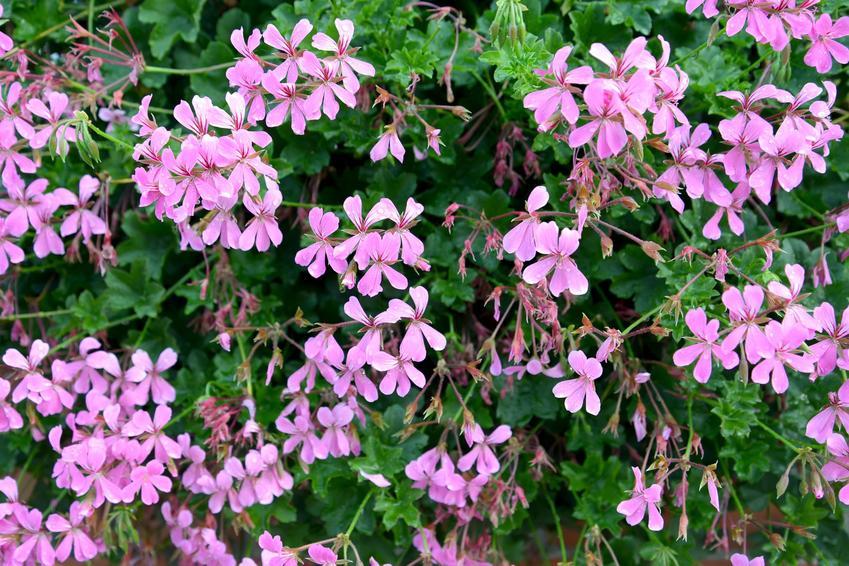 Kwiat pelargonia bluszczolistna w czasie kwitnienia, a także jej uprawa i pielęgnacja