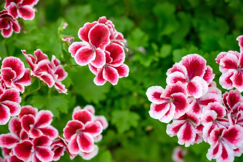 Kwiat pelargonia rabatowa w czasie kwitnienia, a także jej uprawa i pielęgnacja