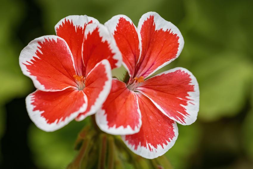 Kwiat pelargonia rabatowa i zbliżenie na kwiat, a także sadzenie, sadzonki i cena